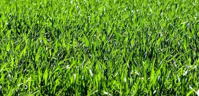 beautiful lush green grass