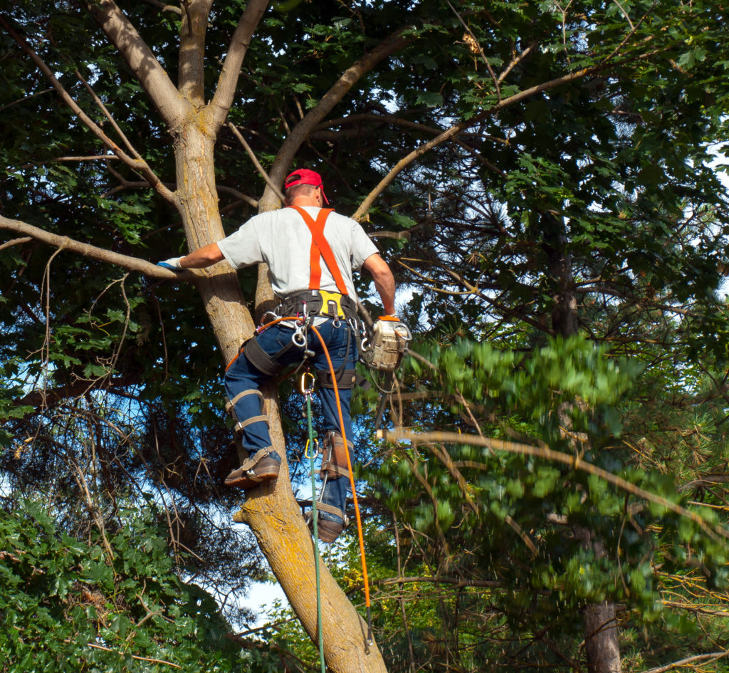 An Arborist Cutting Down Tree Piece by Piece
