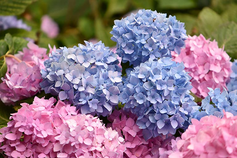 Blue and pink hydrangea flowers in full bloom